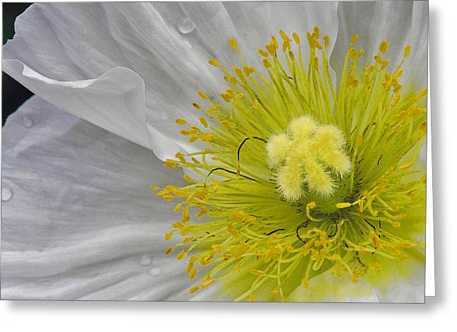 Greeting Card featuring the photograph Oriental Poppy by Thanh Thuy Nguyen