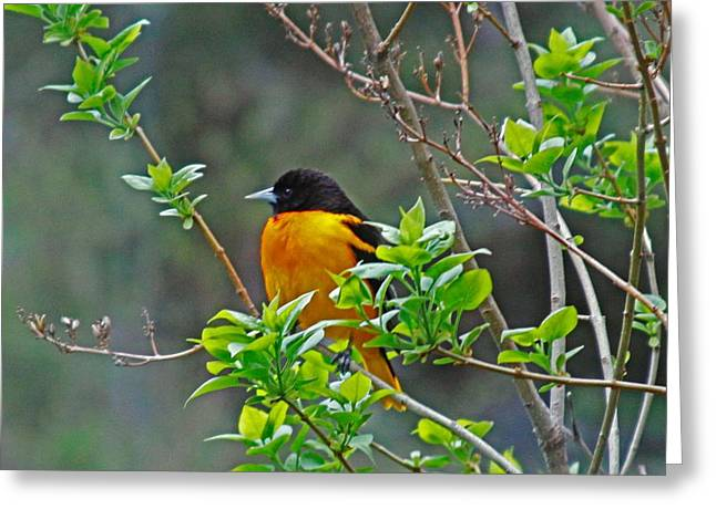 Oriole On The Lilac Greeting Card
