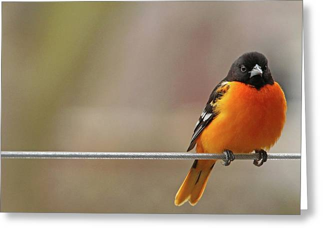 Oriole On The Line Greeting Card