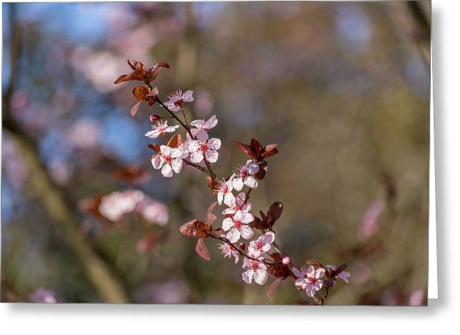 Purple Leaf Sandcherry Blossoms Greeting Card