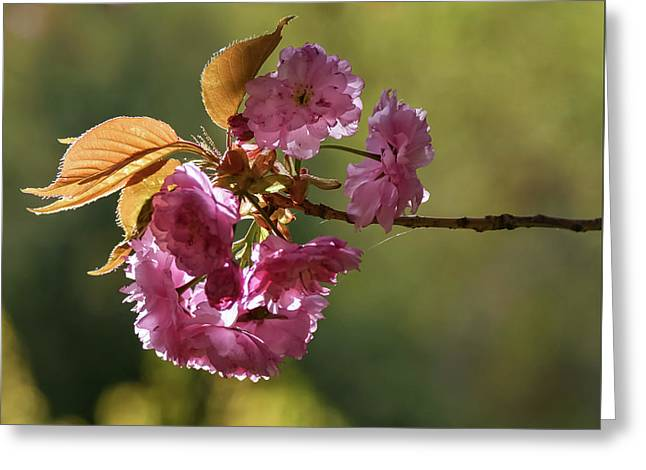 Ornamental Cherry Blossoms - Greeting Card