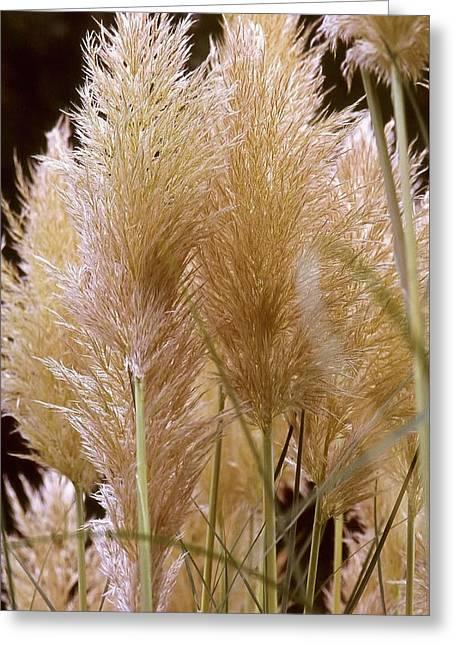Ornamental Grass Greeting Card by Chris Brewington Photography LLC