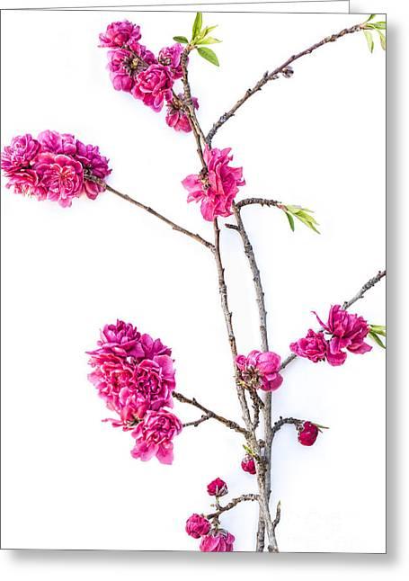 Ornamental Peach  Greeting Card by Elena Nosyreva