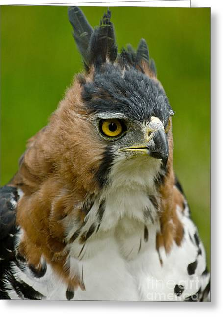 Ornate Hawk Eagle Greeting Card