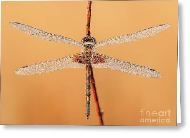 Ornate Pennant Dragonfly I Greeting Card