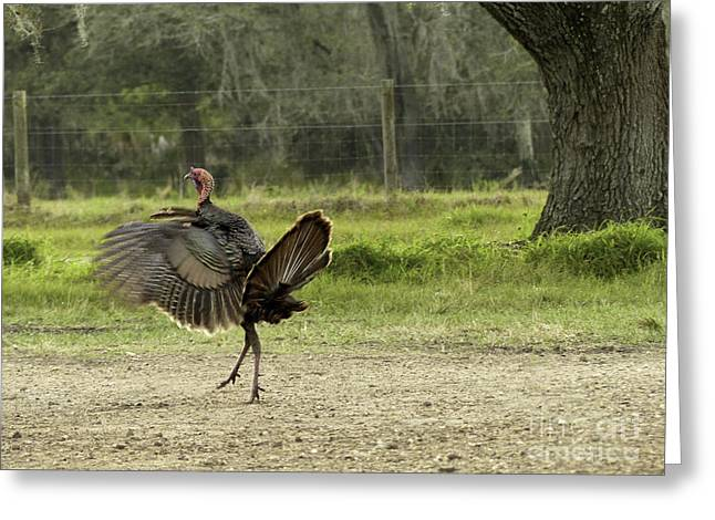 Osceola Turkey Trot Greeting Card by Teresa A and Preston S Cole Photography