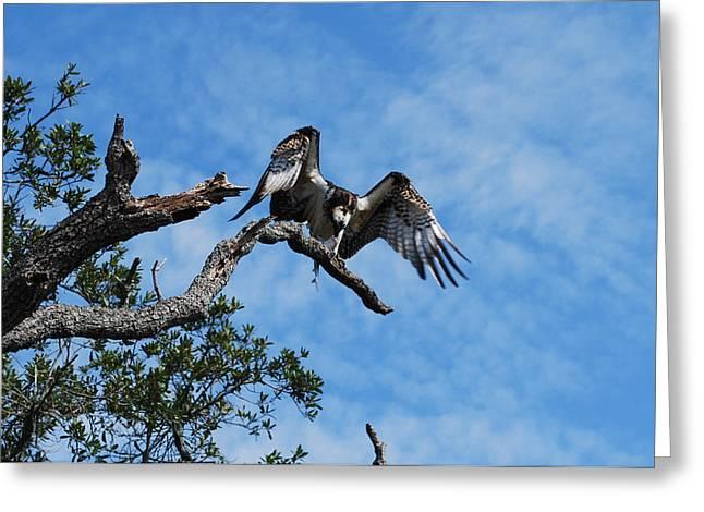 Osprey - Pandion Haliaetus Greeting Card by Denis Blofield