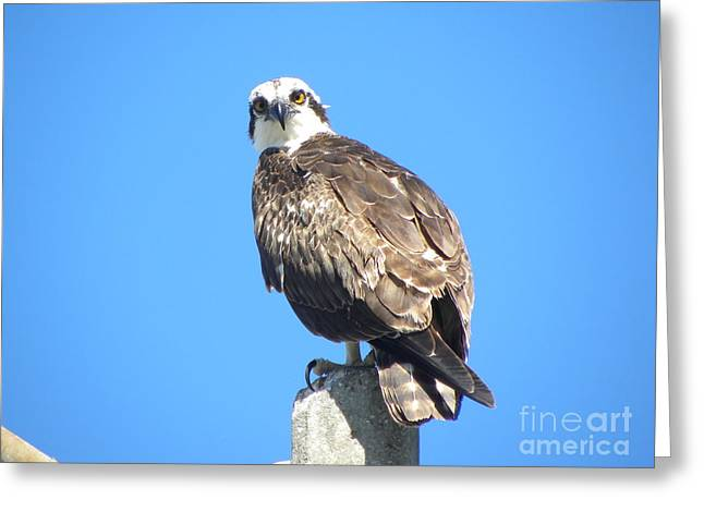 Greeting Card featuring the photograph Osprey 1 by Terri Mills
