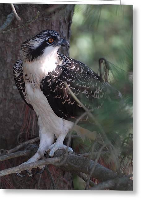 Osprey 40 Greeting Card by Joyce StJames