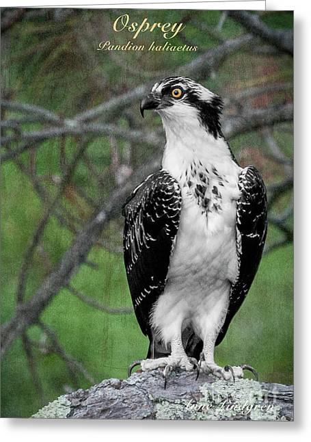 Osprey Greeting Card by Anne Lindgren