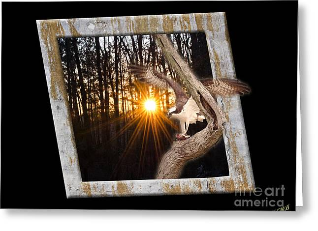 Osprey At Sunset  Black Greeting Card by Donna Brown
