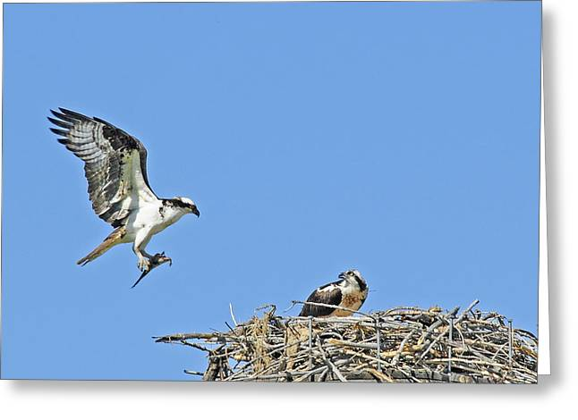Osprey Brings Fish To Nest Greeting Card