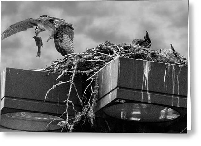 Osprey Carrying Fish To Nest Greeting Card