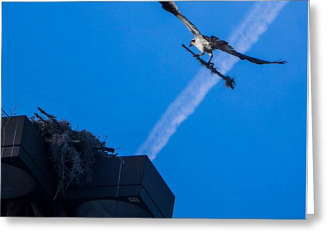 Osprey Carrying Stick To Nest Greeting Card