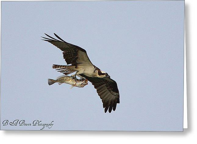 Osprey Catches A Fish Greeting Card by Barbara Bowen