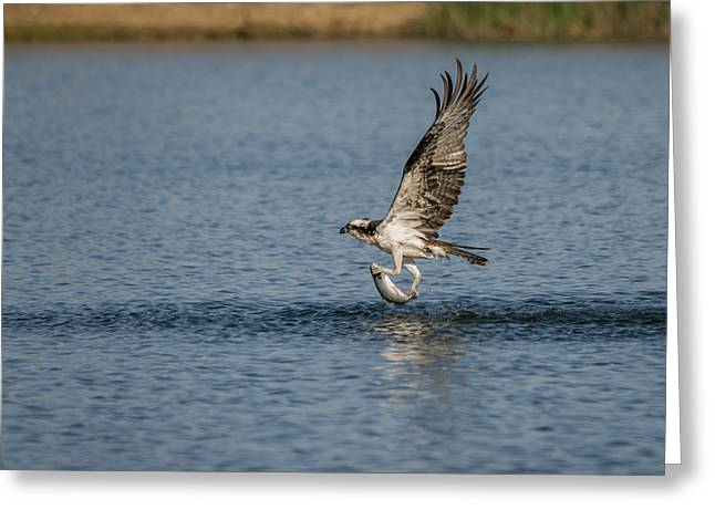 Osprey Catching A Fish Greeting Card by Loree Johnson