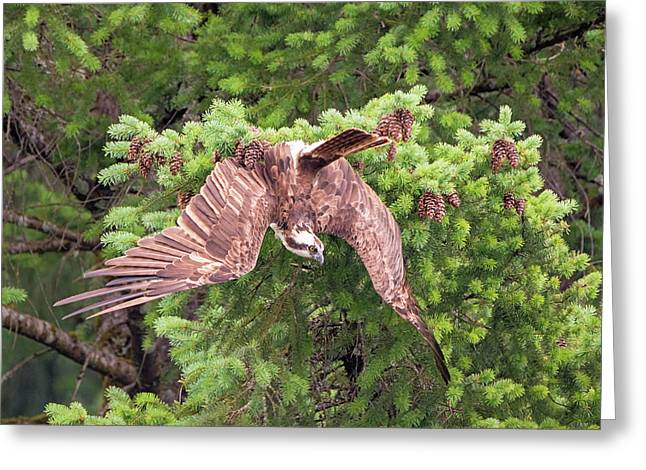 Osprey Changes Its Mind Greeting Card