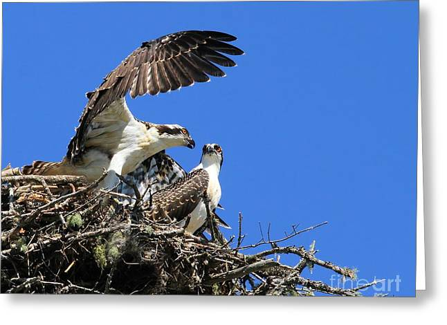 Osprey Chicks Ready To Fledge Greeting Card