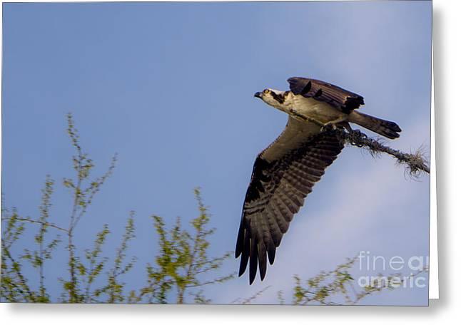 Osprey Collecting Sticks Greeting Card