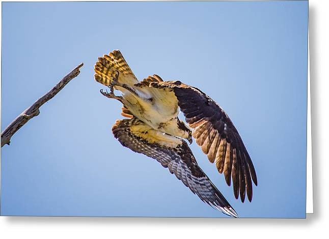 Osprey Dive Greeting Card by Janis Knight