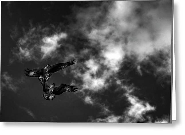 Osprey Dog Fight In Black And White Greeting Card by Chrystal Mimbs
