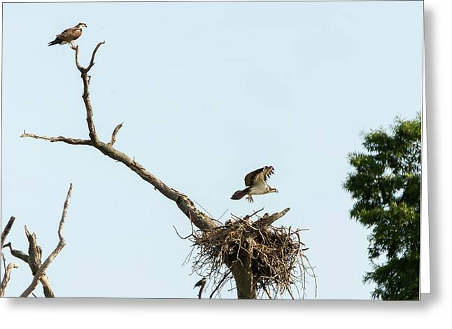 Osprey Family Greeting Card by Brian Wallace