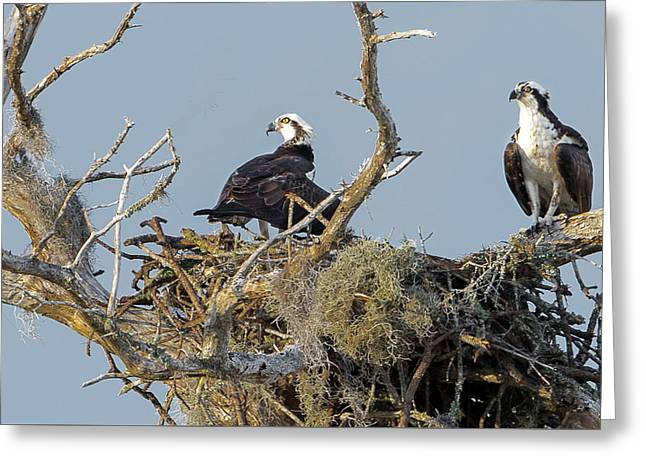 Osprey Family Greeting Card
