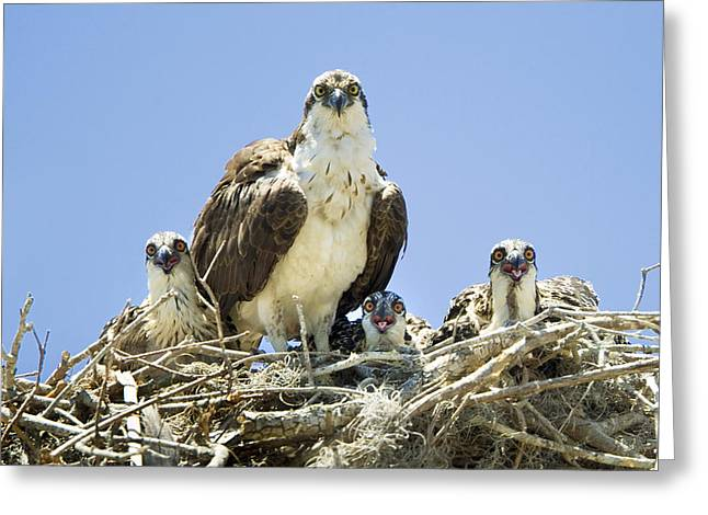 Osprey Family Portrait Greeting Card