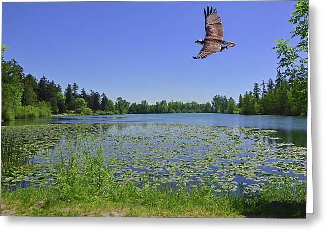 Osprey Fishing At Wapato Lake Greeting Card