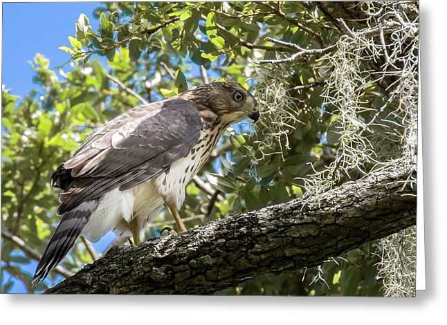 Red-shouldered Hawk Fledgling - 4 Greeting Card