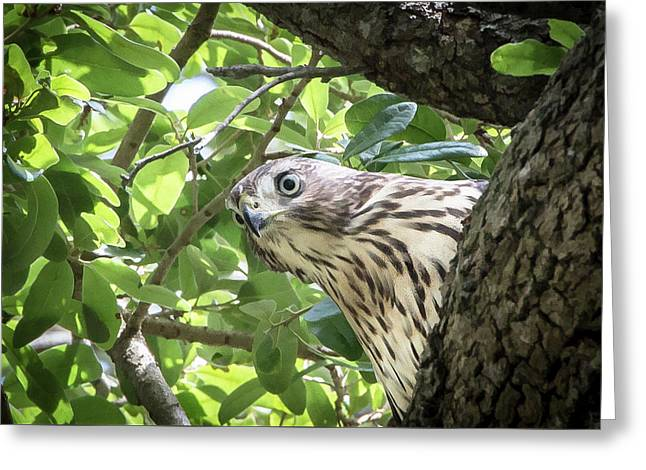 Red-shouldered Hawk Fledgling - 5 Greeting Card