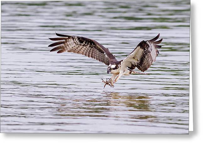 Greeting Card featuring the photograph Osprey Going For Breakfast by Lori Coleman