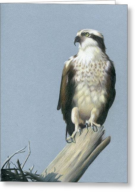 Osprey Drawings Greeting Cards - Osprey Greeting Card by Heather Mitchell