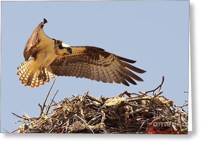 Greeting Card featuring the photograph Osprey Hovering Above Nest by Max Allen