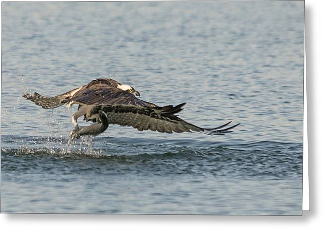 Osprey In Action Greeting Card by Loree Johnson