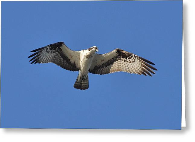 Osprey In Flight 1 Greeting Card