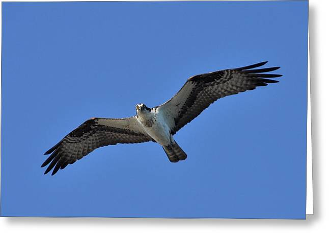 Osprey In Flight 2 Greeting Card