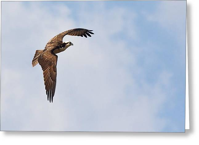 Greeting Card featuring the photograph Osprey In Flight by Bob Decker