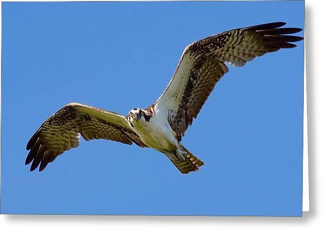 Osprey In Flight Greeting Card by Mark Reinnoldt