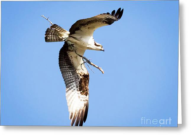Greeting Card featuring the photograph Osprey In Flight by Ricky L Jones