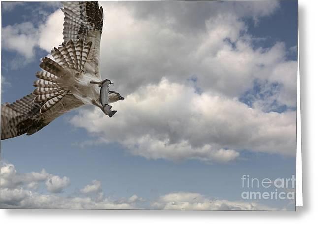 Osprey In Flight Greeting Card by Wildlife Fine Art