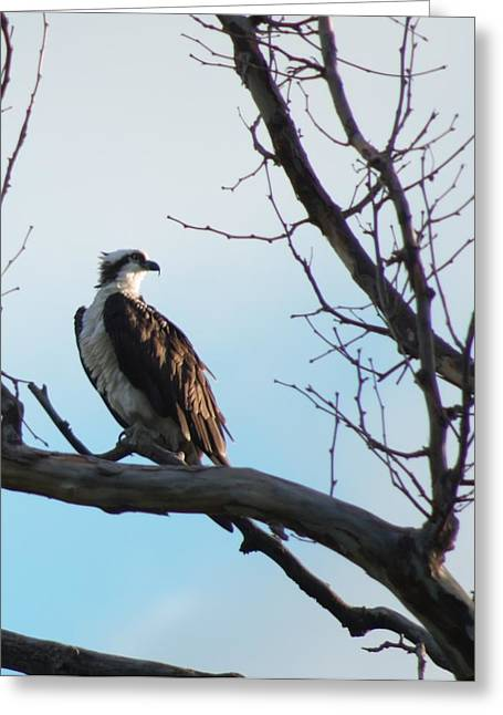 Osprey In Tree Greeting Card