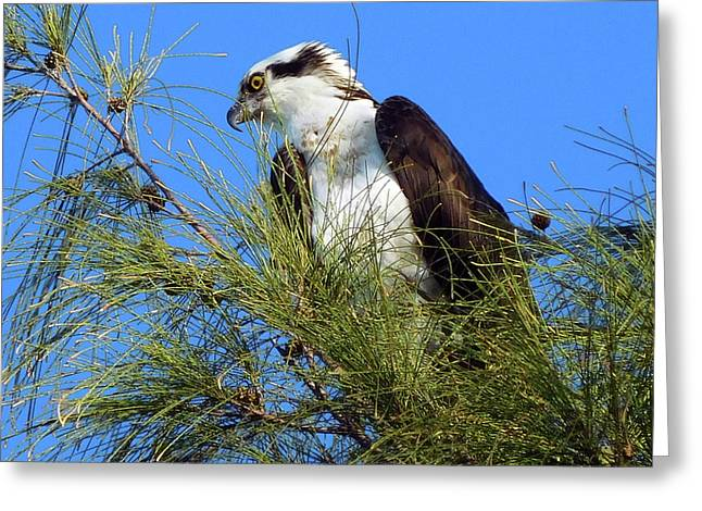 Osprey In Tree Greeting Card