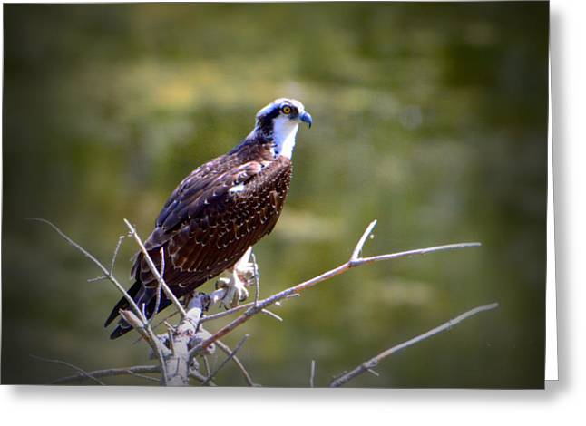 Osprey In Wait Greeting Card by Josephine Buschman