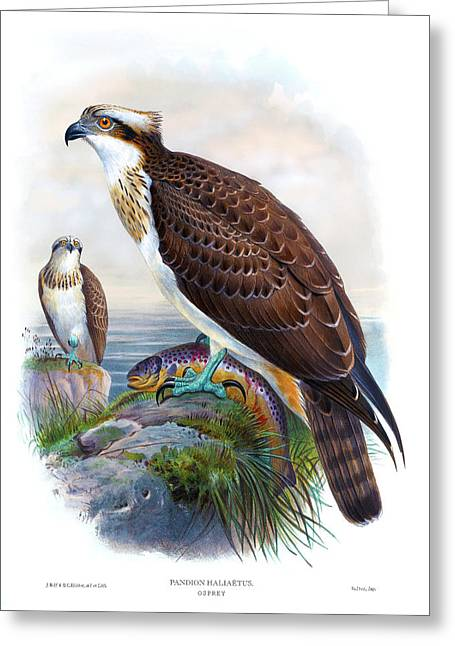 Osprey Antique Bird Print Joseph Wolf Hc Richter Birds Of Great Britain  Greeting Card by Orchard Arts