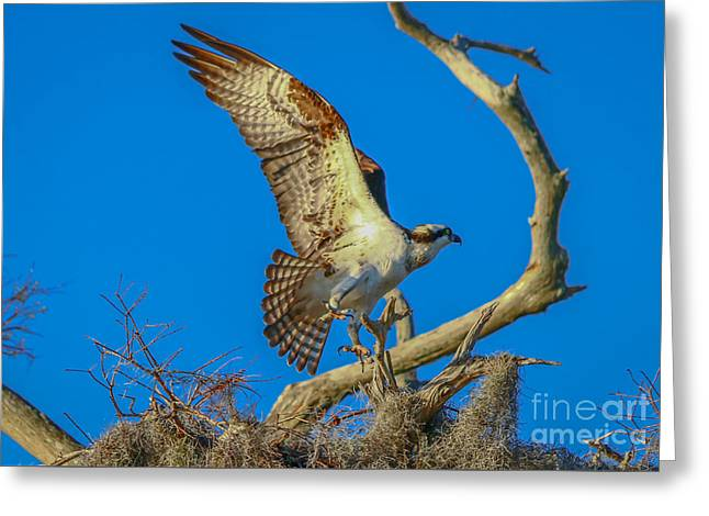 Osprey Landing On Branch Greeting Card