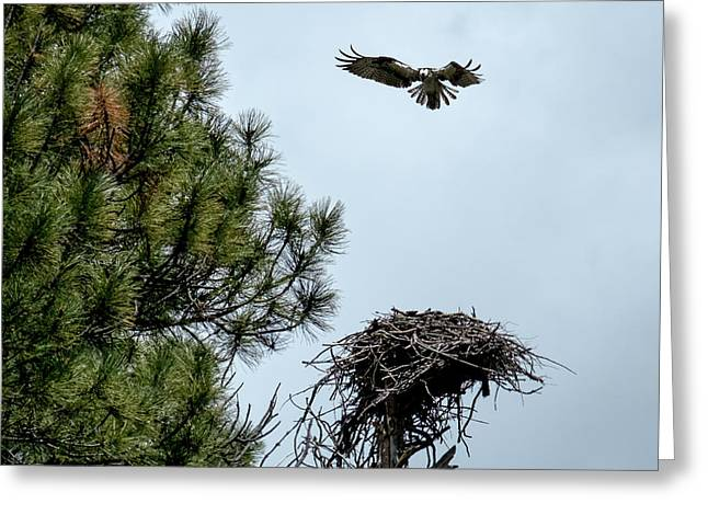 Osprey Landing On Nest Greeting Card by Mary Lee Dereske