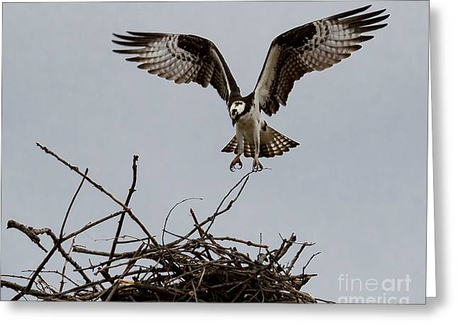 Osprey Landing Greeting Card