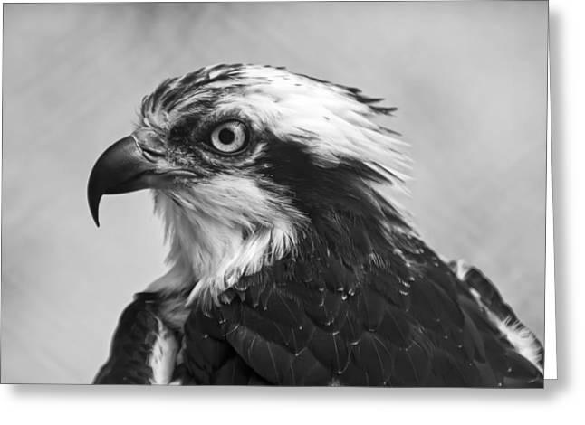 Osprey Monochrome Portrait Greeting Card