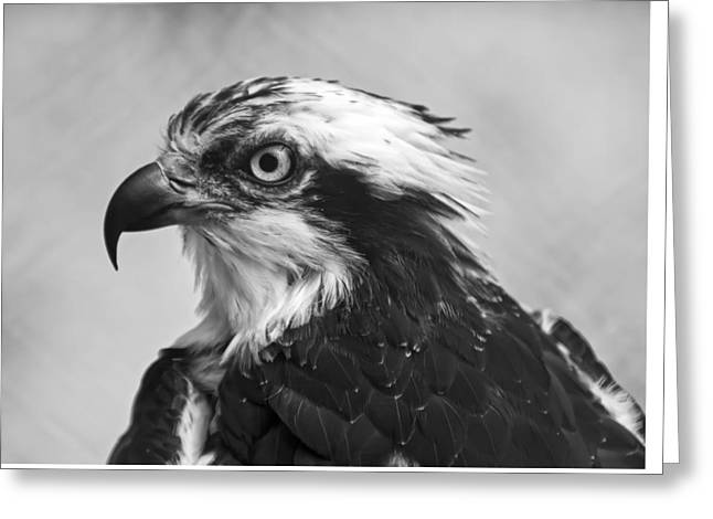 Osprey Monochrome Portrait Greeting Card by Chris Flees